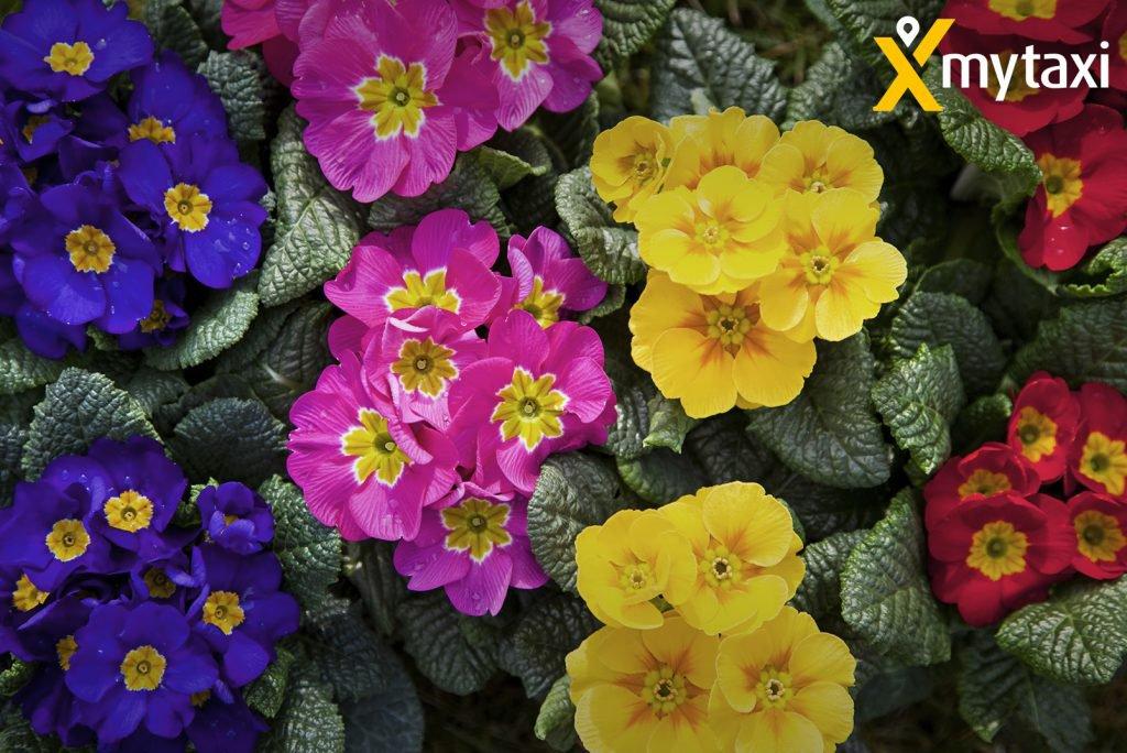mytaxi verteilt Blumen für Verliebte